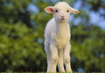 图解羊宝怎么处理
